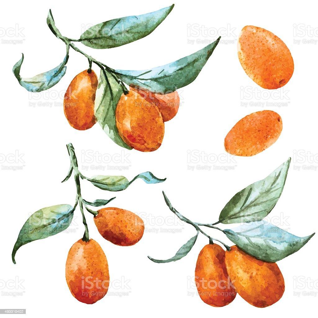Watercolor vector tangerine vector art illustration