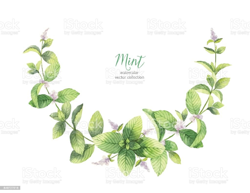 Watercolor vector wreath of mint branches isolated on white background. vector art illustration