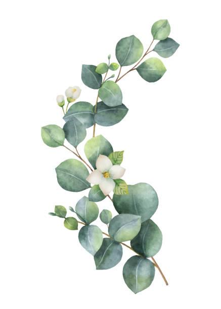 녹색 유 칼 리 나무와 수채화 벡터 화 환 잎, 재 스민 꽃과 나뭇가지. - 꽃 식물 stock illustrations