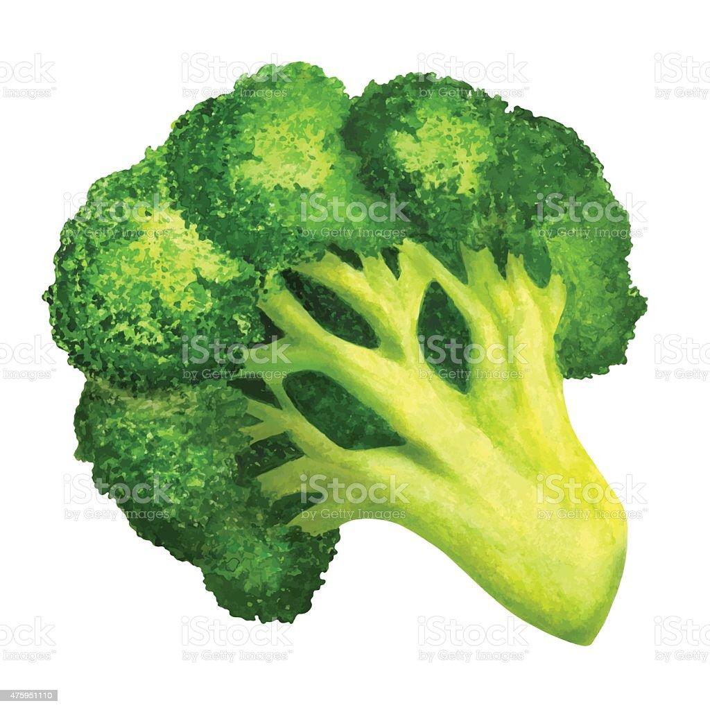 Watercolor vegetable broccoli closeup isolated vector art illustration