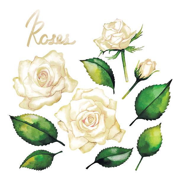 bildbanksillustrationer, clip art samt tecknat material och ikoner med watercolor white roses - white roses