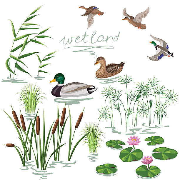 Wetland Plants and Ducks Set Set of wetland plants and birds. Simplified image of  reed, water lily, cane and carex.  Flying and floating wild ducks isolated on white. duck bird stock illustrations