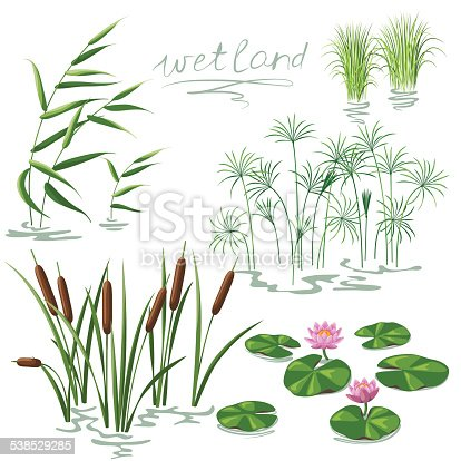 Set of wetland plants. Simplified image of  reed, water lily, cane and carex.
