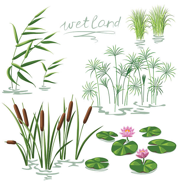 Wetland Plants Set Set of wetland plants. Simplified image of  reed, water lily, cane and carex. pond stock illustrations