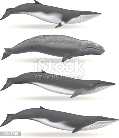 Illustrations of a Minke Whale, Gray Whale, Sei Whale, and a Fin Whale. Download includes: PDF, JPG, and EPS formats.