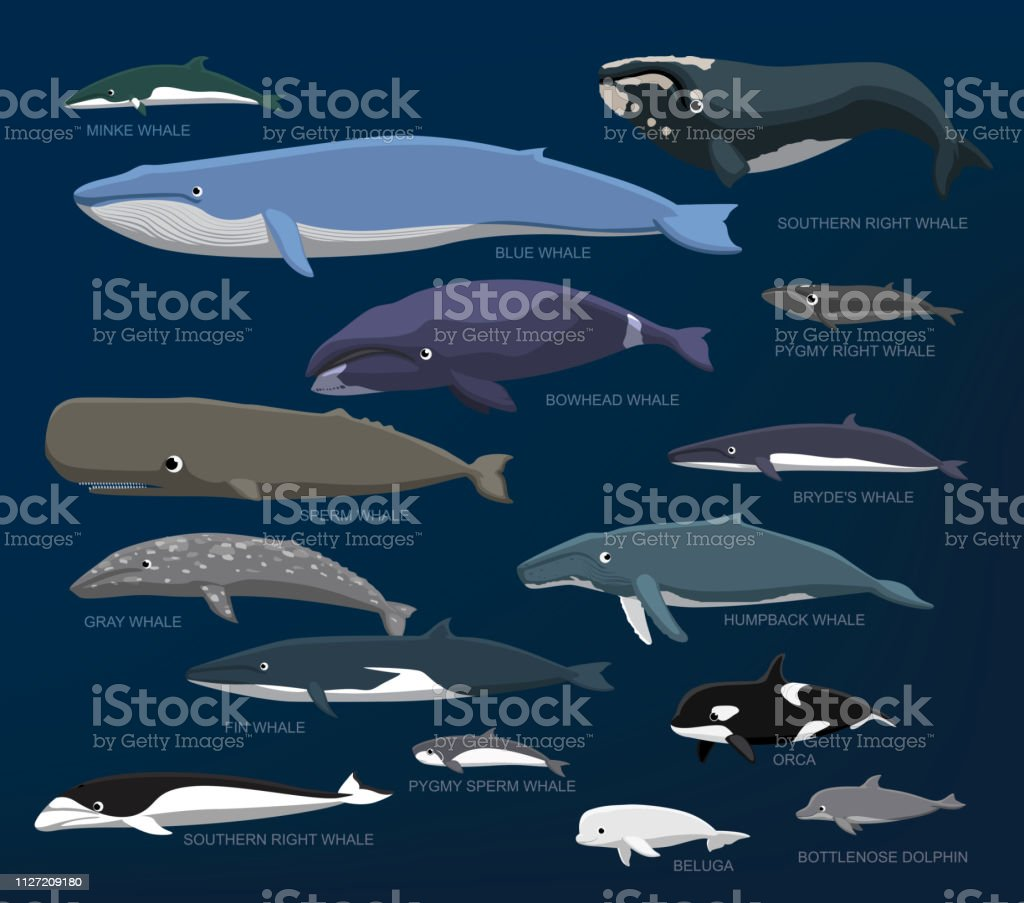 Whales Species Size Comparison Set Cartoon Vector Illustration Animal Cartoon EPS10 File Format Animal stock vector
