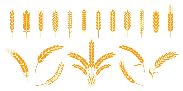 Wheat and rye ears. Barley rice grains and elements for beer logo or organic agricultural food. Vector illustration isolated heraldic shapes golden patterns rice and barley