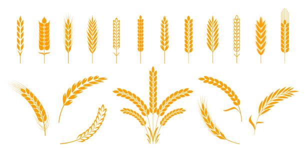 Wheat and rye ears. Barley rice grains and elements for bear logo or organic agricultural food. Vector isolated heraldic shapes Wheat and rye ears. Barley rice grains and elements for beer logo or organic agricultural food. Vector illustration isolated heraldic shapes golden patterns rice and barley bread backgrounds stock illustrations