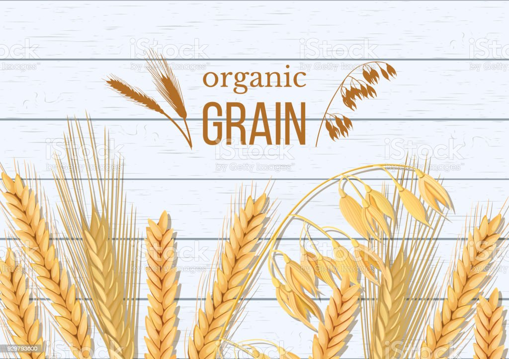 Wheat, barley, oat and rye on white wooden background. Cereals spikelets with ears, sheaf and text organic grain, vector art illustration