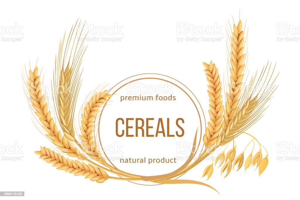 Wheat, barley, oat and rye set. Four cereals spikelets with ears, sheaf and text premium foods, natural product vector art illustration
