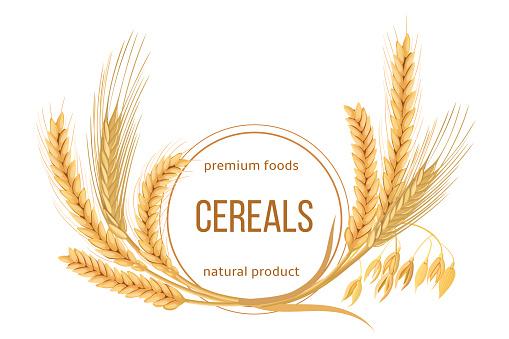 Weizen Gerste Hafer Und Roggen Festgelegt Vier Getreide Ährchen Mit Ohren Garbe Und Text Premiumlebensmittel Naturprodukt Stock Vektor Art und mehr Bilder von Agrarbetrieb
