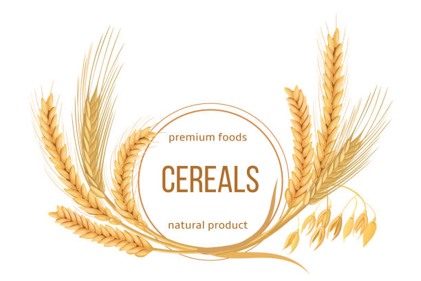 ilustrações de stock, clip art, desenhos animados e ícones de wheat, barley, oat and rye set. four cereals spikelets with ears, sheaf and text premium foods, natural product - oats