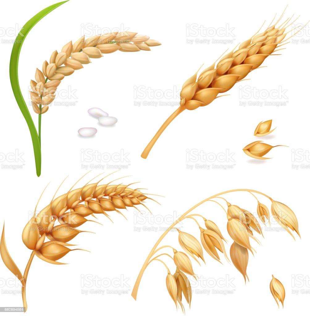 Wheat, barley, rice and oats. Ears vector set vector art illustration