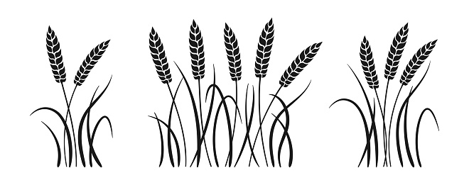 Wheat bunch ears black glyph set. Ripe spikelets wheat collection. Agricultural symbol oat bakery, flour production. Design organic farm elements, organic vegetarian bread packaging beer label vector