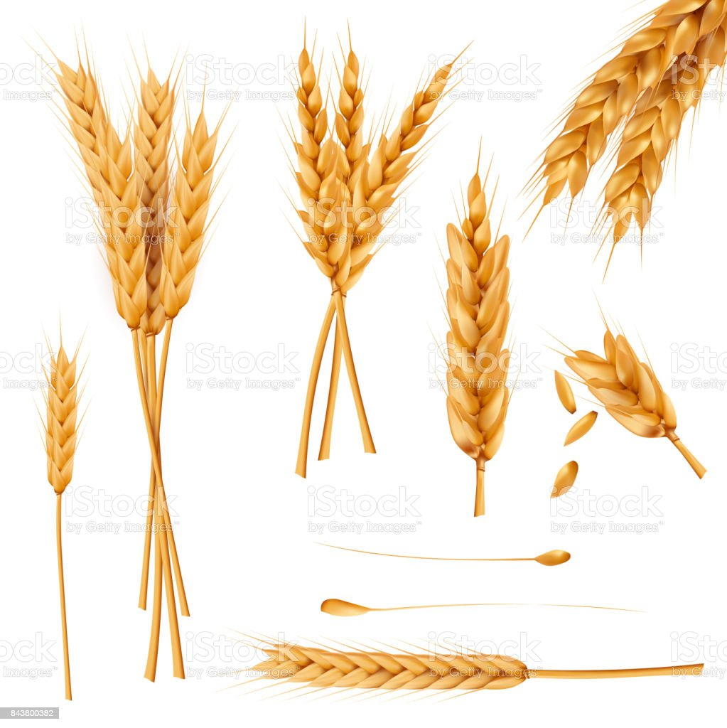 Wheat ears and seeds realistic vectors collection vector art illustration