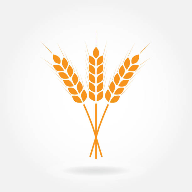Wheat ears or rice icon. Crop, barley or rye symbol isolated on white background. Design element for beer label or bread packaging. Vector illustration. Wheat ears or rice icon. Crop, barley or rye symbol isolated on white background. Design element for beer label or bread packaging. Vector illustration. bundle stock illustrations