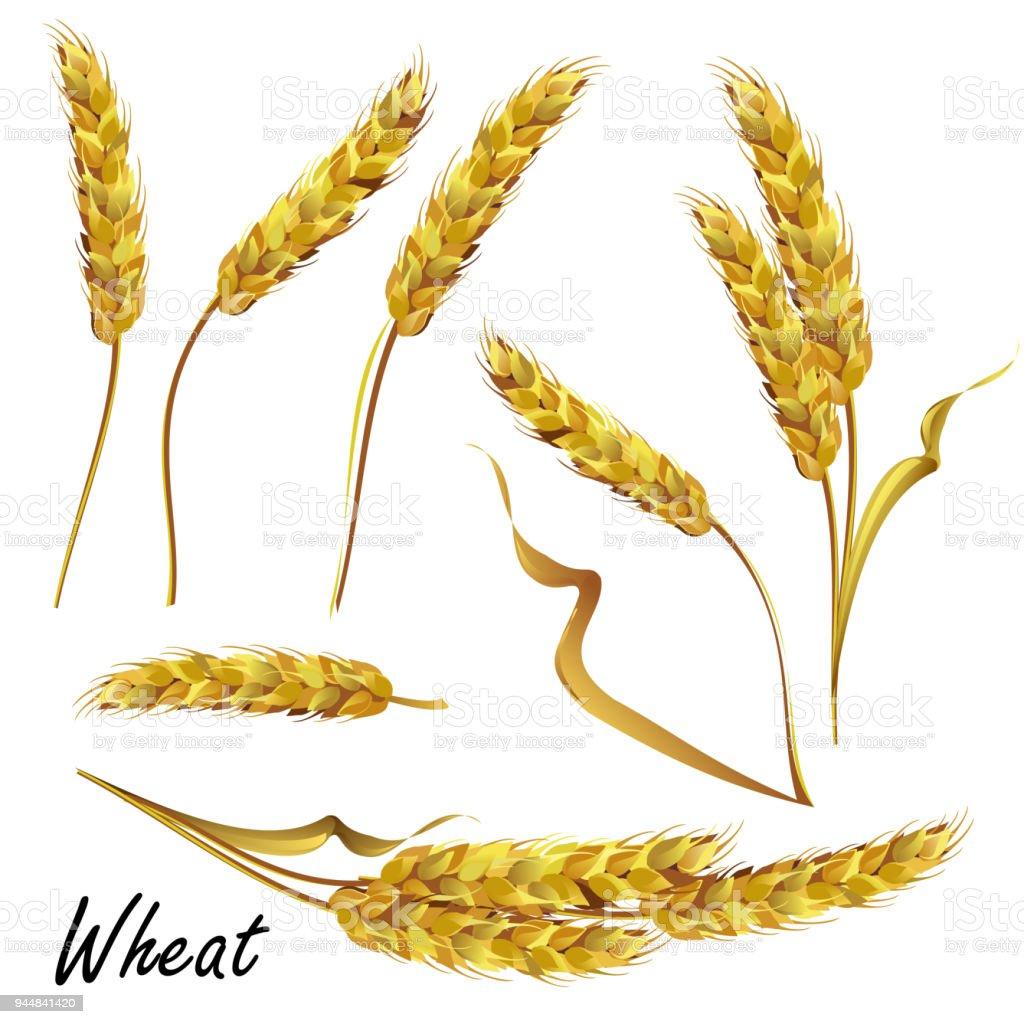 Wheat Ears Set Of Vector Illustrations Stock Illustration ...