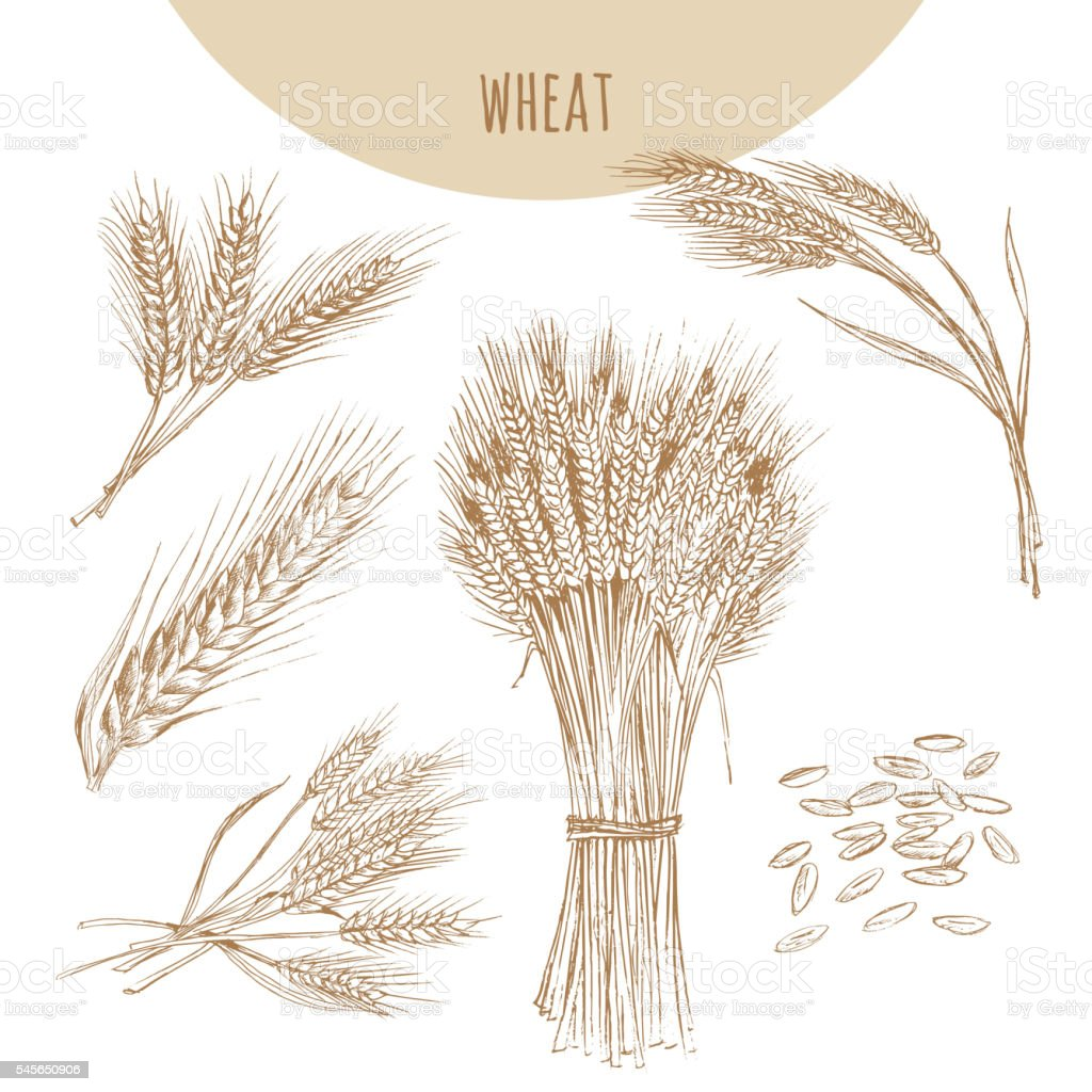 Wheat ears, sheaf and grains. Cereals sketch hand drawn drawing. vector art illustration