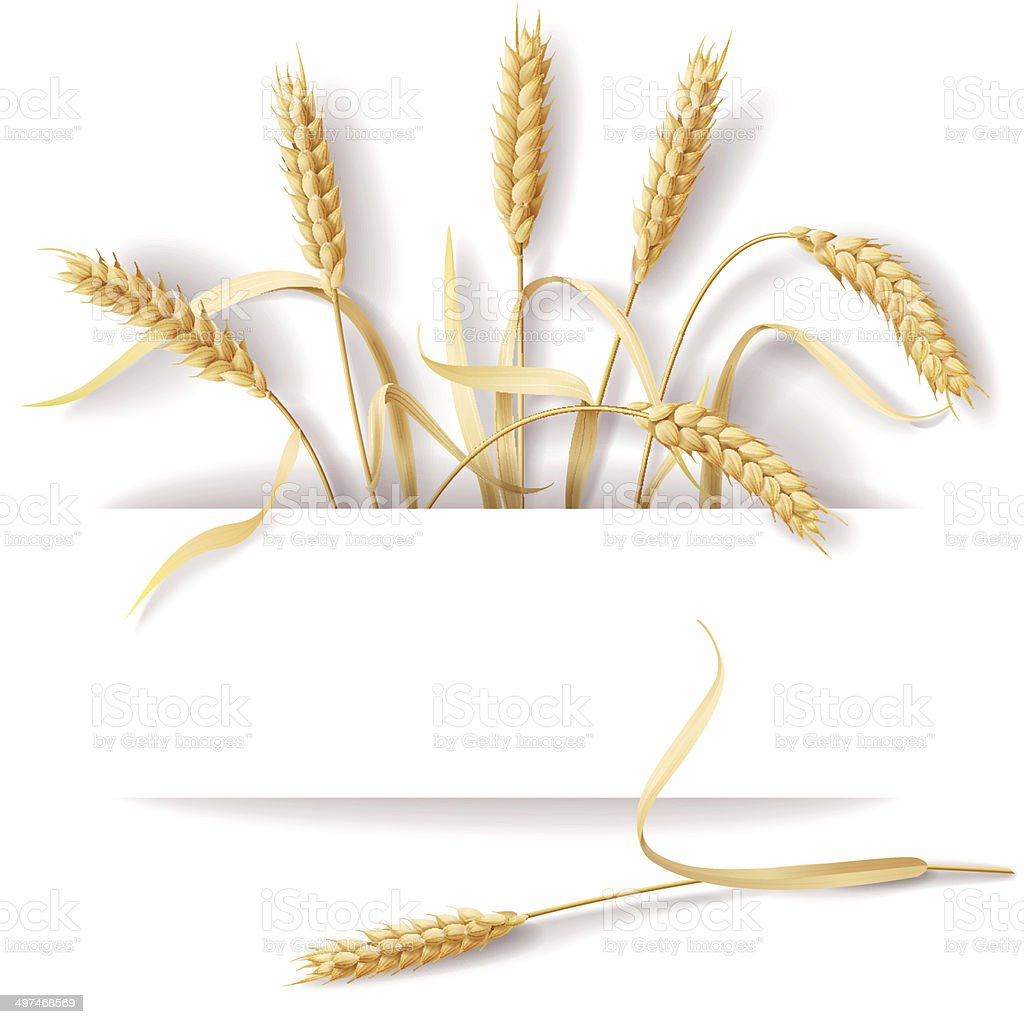 Wheat ears vector art illustration