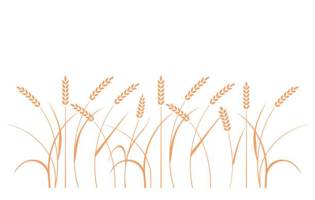 Wheat field background. Cereals icon set with rice, wheat, corn, oats, rye, barley. vector art illustration