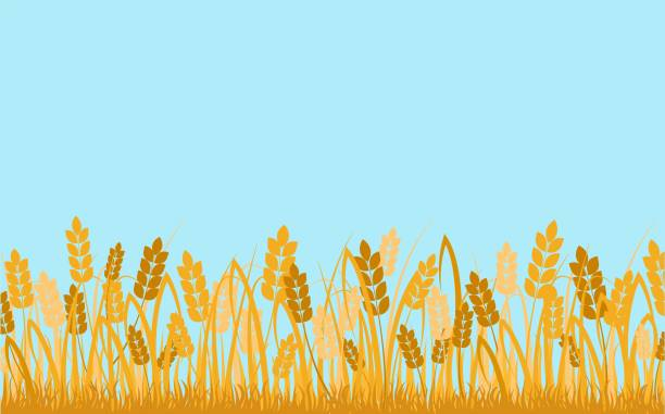 Wheat field background. Golden ears of cereals against blue sky decorative rural ecological area.