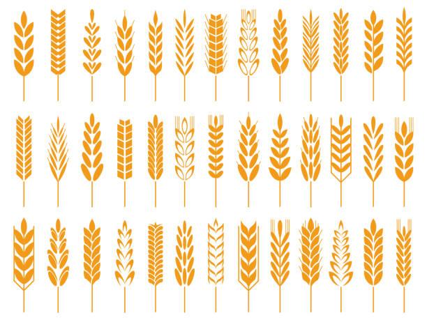 ilustrações de stock, clip art, desenhos animados e ícones de wheat grain icons. wheats bread logo, farm grains and rye stalk symbol isolated vector icon - ilustrações de oats