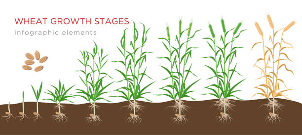 illustrazioni stock, clip art, cartoni animati e icone di tendenza di wheat growth stages from seed to ripe plant infographic elements isolated on white background. wheat growing vector illustration in flat design. - impollinazione