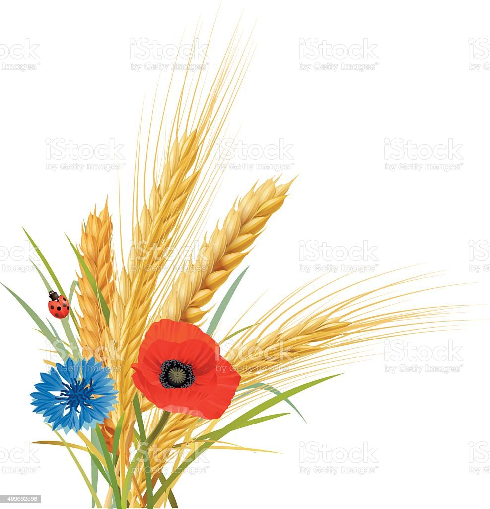Wheat, oat and barley with cornflower, poppy and ladybug vector art illustration