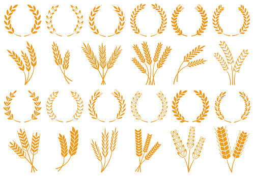 Wheat or barley ears. Harvest wheat grain, growth rice stalk and whole bread grains or field cereal nutritious rye grained agriculture products ear symbol. Isolated vector icons set