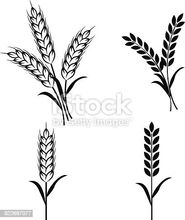 Wheat plants on white background