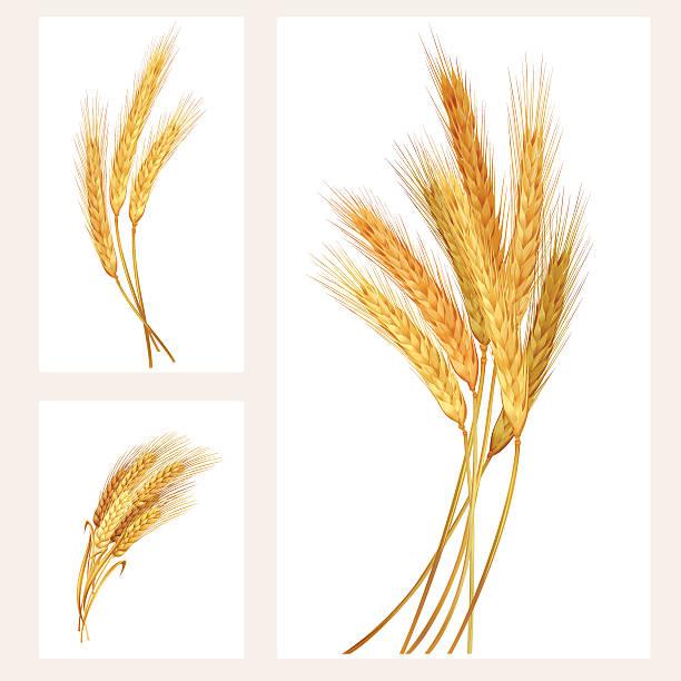 Wheat set Vector illustration spelt stock illustrations