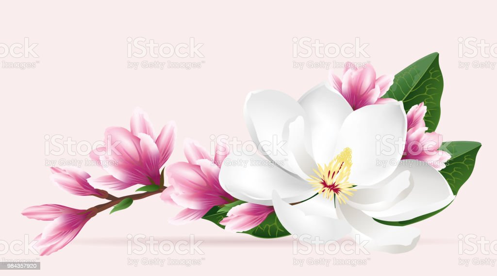 White And Pink Magnolia Flowers Realistic Vector Illustration Stock