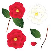 istock White and Red Camellia Flower. isolated on White Background. Vector Illustration 670786116