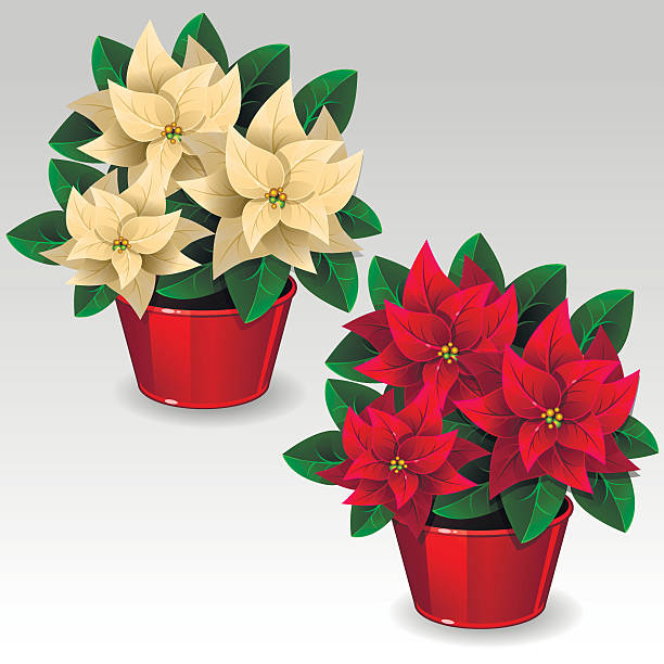 White and red poinsettia plants Illustration of white and red poinsettia plants garden center stock illustrations