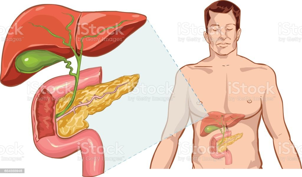 white background  man liver anatomy liver anatomy vector art illustration
