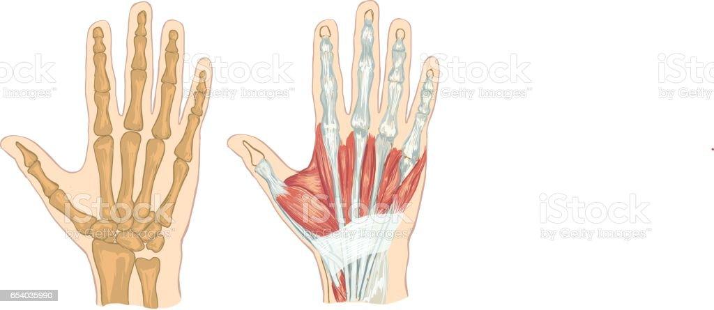 Weißen Hintergrund Vektorillustration Von Einer Hand Anatomie Stock ...