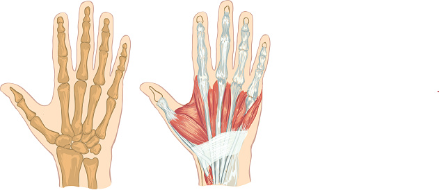 white backround Vector illustration of a  hand anatomy