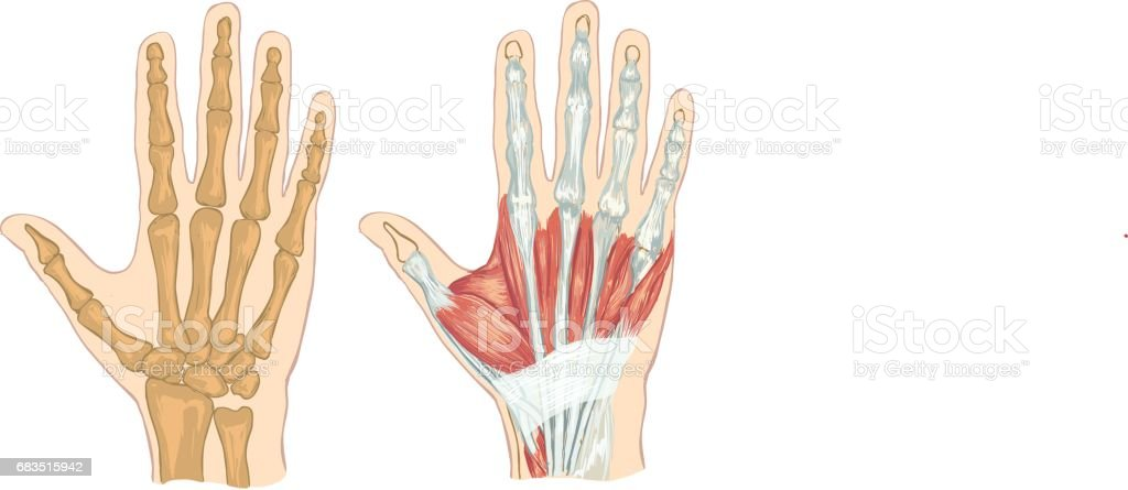 White Backround Vector Illustration Of A Hand Anatomy Stock Vector