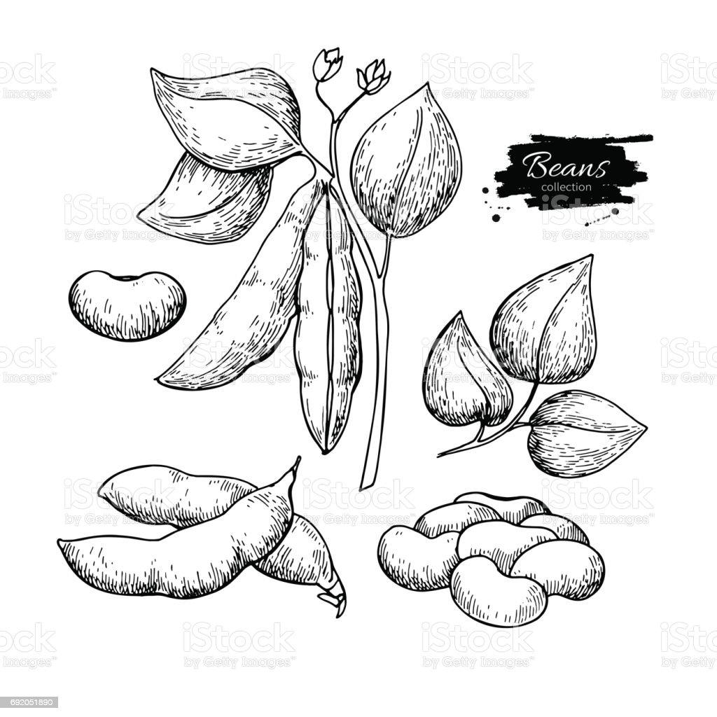 White Bean plant hand drawn vector illustration. Isolated Vegetable engraved style object. vector art illustration