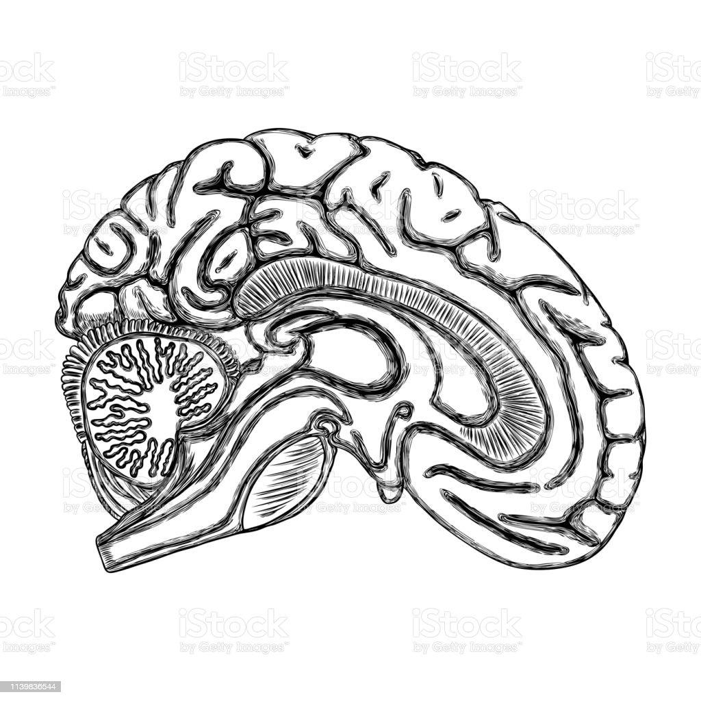 Contour Noir Blanc Du Cerveau Humain à La Main Dessin Organe Réaliste Vecteur Vecteurs Libres De Droits Et Plus Dimages Vectorielles De Abstrait