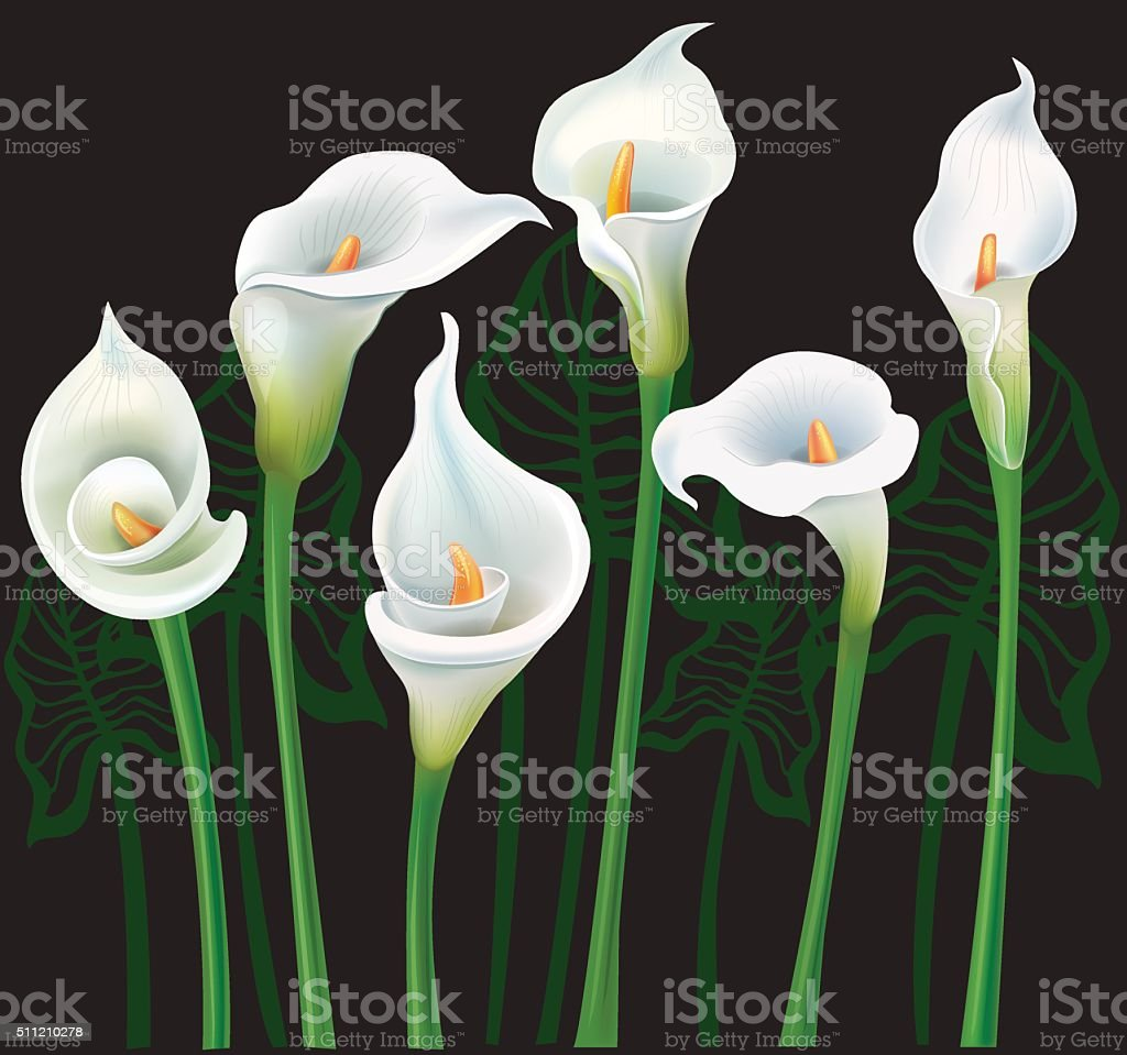 White Calla Lilies On Black Background Stock Vector Art More