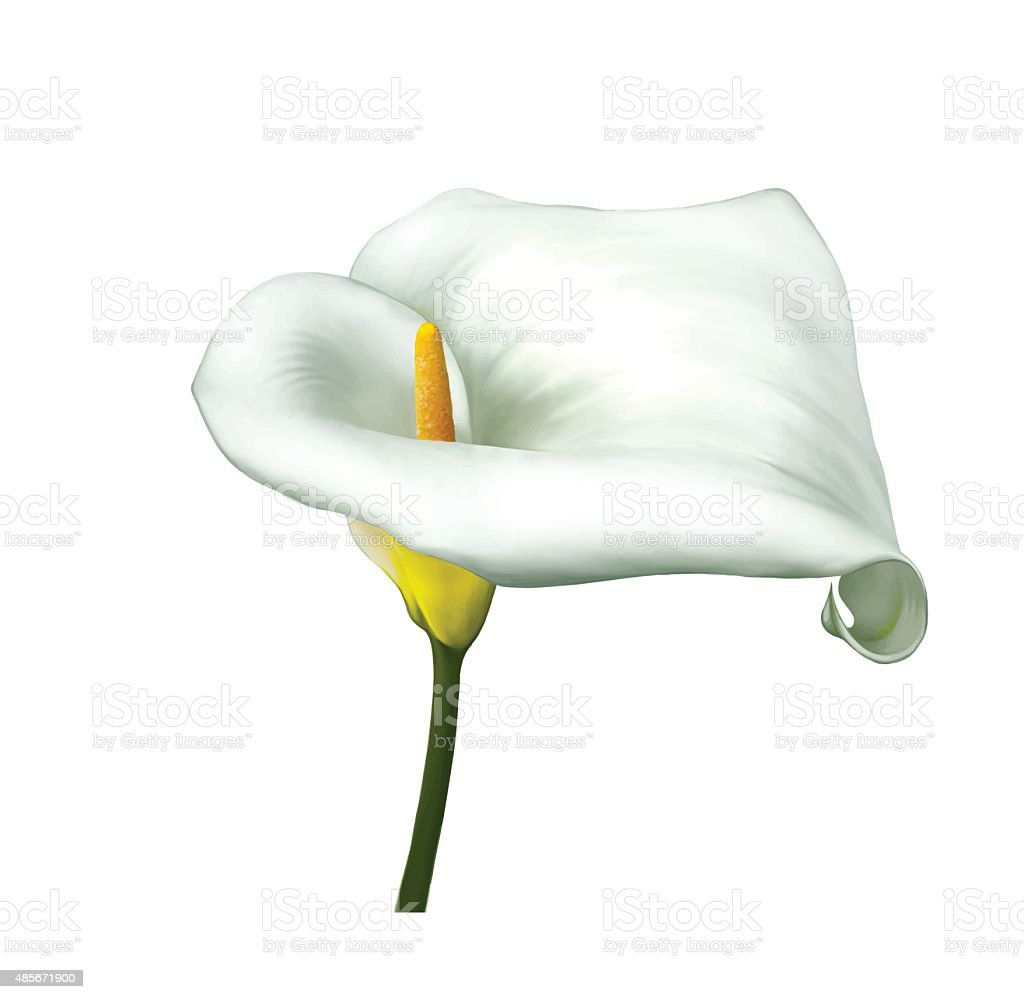 White calla lily flower vector stock vector art more images of white calla lily flower vector royalty free white calla lily flower vector stock vector izmirmasajfo Image collections