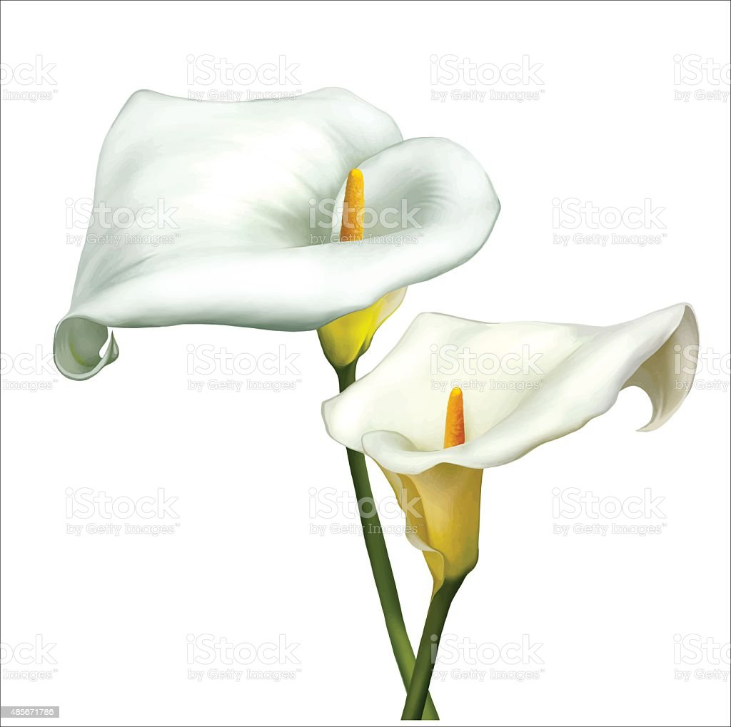 White Calla Lily Flowers Vector Stock Vector Art More Images Of