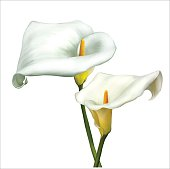 White Calla Lily Flowers. Vector