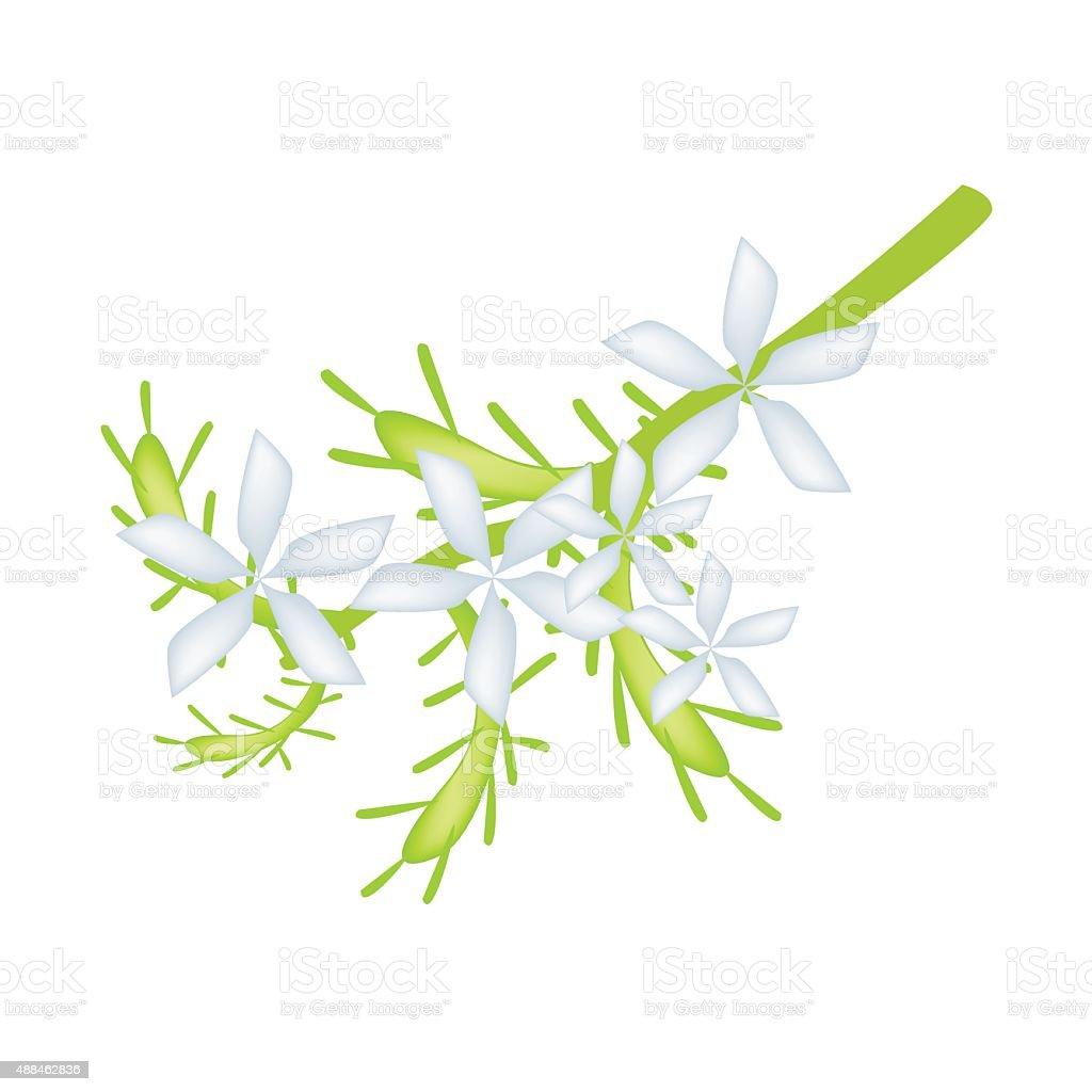 White Cape Leadwort Flower or White Plumbago Flower vector art illustration
