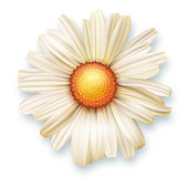 White chrysanthemum flower, top view. Vector 3D illustration of open flower bud closeup isolated on white background