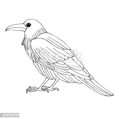 istock Dibujo dibujo de la pluma de vector. Pavo real de aves de ...