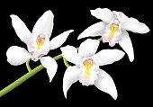 Beautiful white cymbidium orchids isolated on a black background.