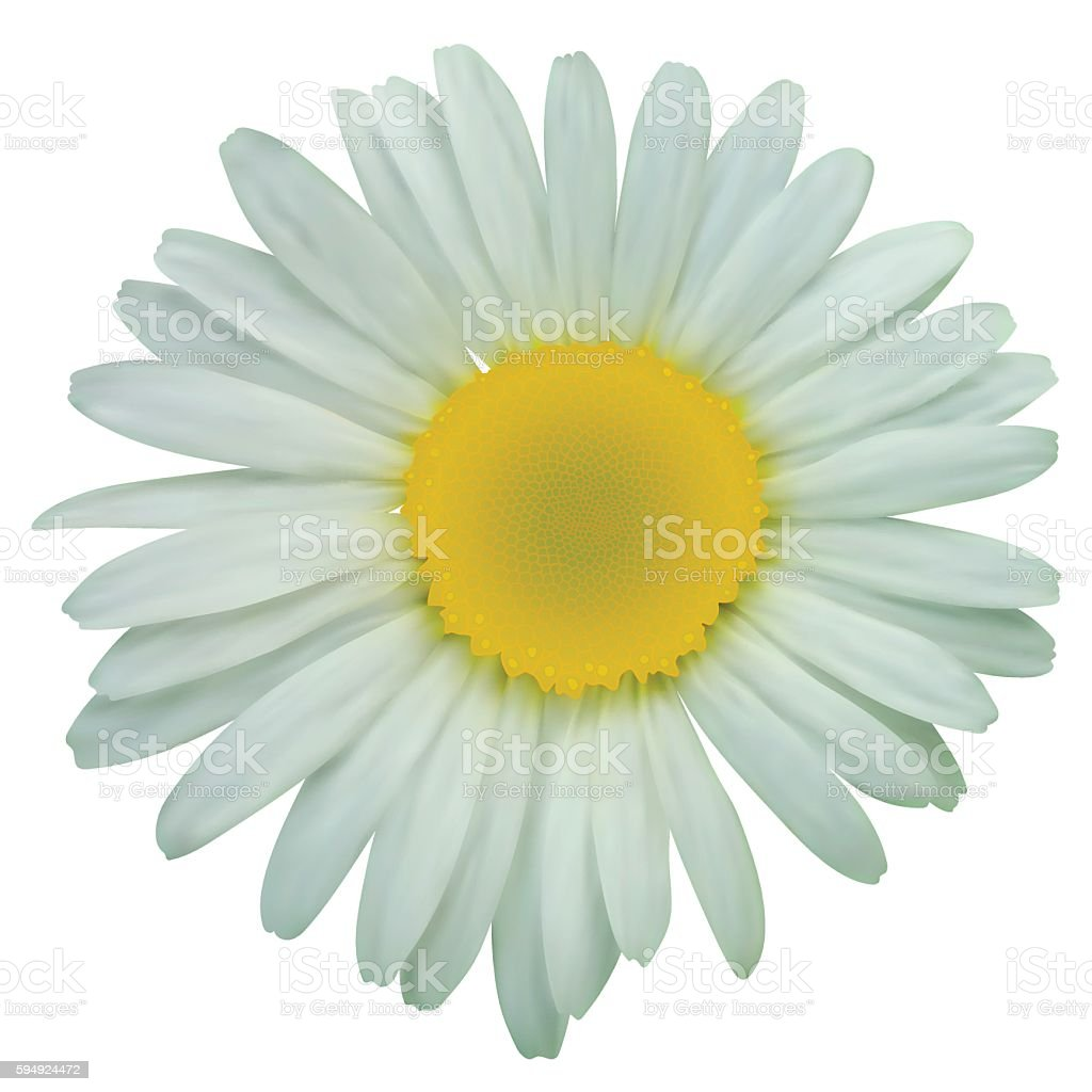 White daisy chamomile flowers vector art illustration