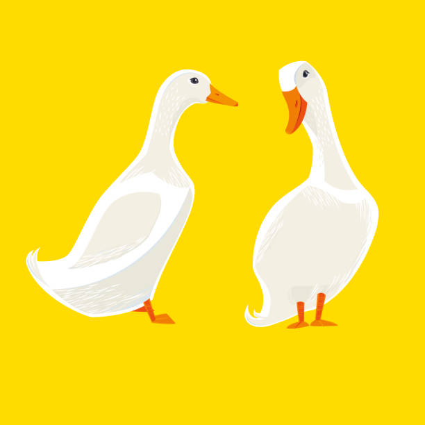 White Ducks White Ducks. Vector illustration. snow goose stock illustrations